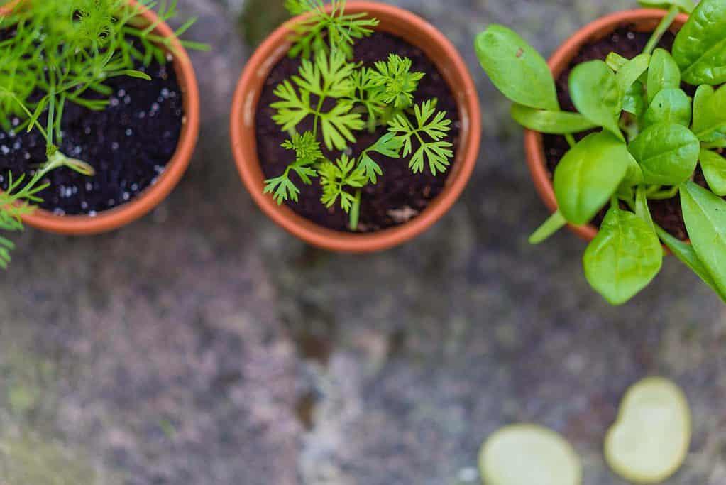 des plants de fines herbes